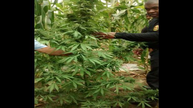 Hallan 45.000 plantones de marihuana entre cultivos de maíz