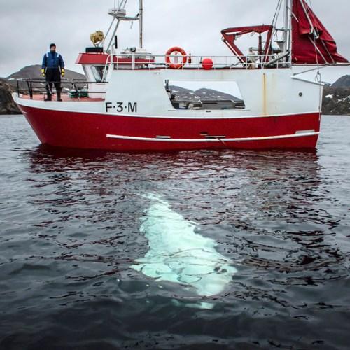 Photostory: 'Spy' whale found off Norwegian coast