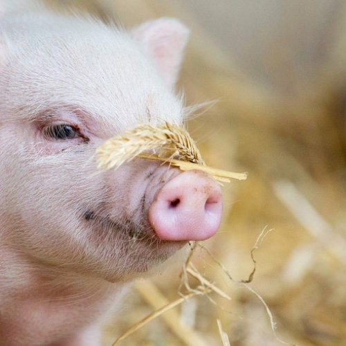 Pig's brain function restored hours after death