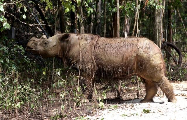 Last male Sumatran Rhino dies in Malaysia