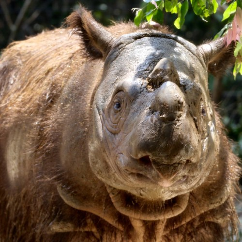 Photo Story: Last male Sumatran Rhino dies in Malaysia