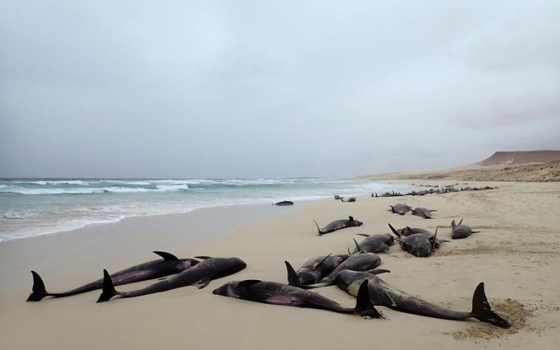 Photo Story: Around a 100 dolphins run aground in Cape Verde