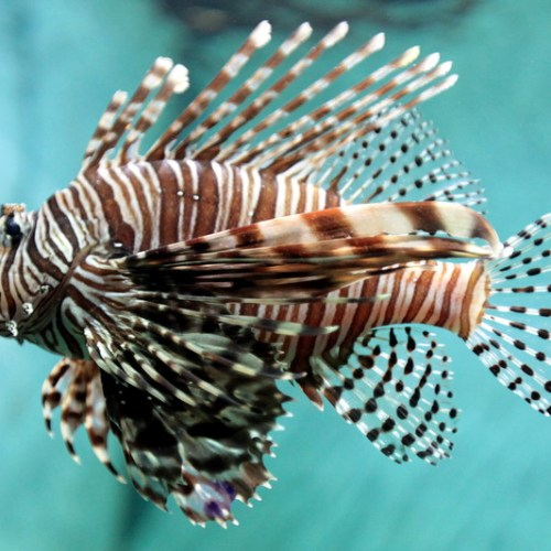 Conservationists in Greece and Cyprus tackle invasive species of highly venomous lionfish