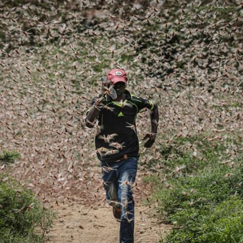 Kenya suffers worst locust infestation in 70 years