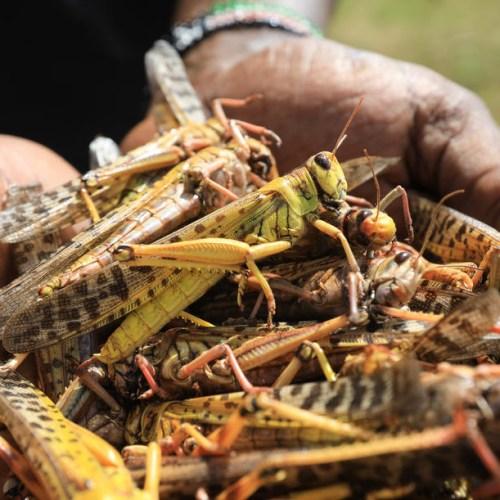 Huge locust outbreak reaches South Sudan