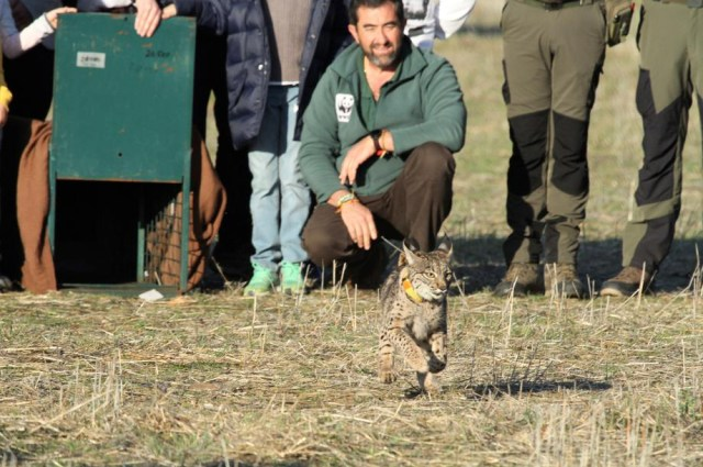Two wild Iberian lynxes released into the wild in central Spain