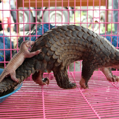 China scientists identify pangolin as possible coronavirus host
