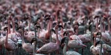epa08428642 Colonies of flamingos crowd the muddy area in Navi Mumbai, India 17 May 2020. Migratory birds arrive in the winter season from different parts of India and neighboring countries and are usually leaving the region again in the spring months. EPA-EFE/DIVYAKANT SOLANKI