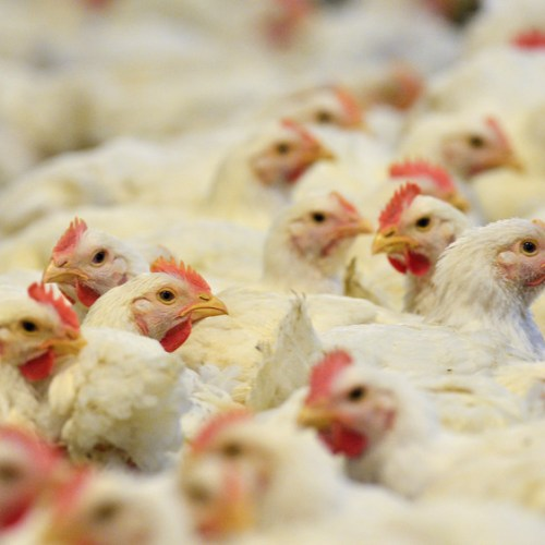 Philippines bans chicken imports from Brazil on coronavirus scare