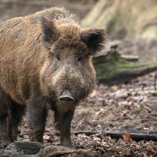 Germany confirms first case of swine fever in wild animal