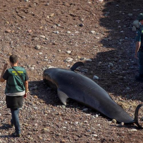Nine stranded pilot whales died on a beach in Spain