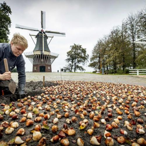 Photo Story: Flower bulbs planting season in Keukenhof Garden in the Netherlands
