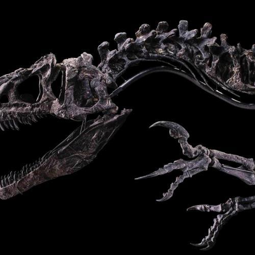 Photo Story: Skeleton of Allosaurus dinosaur on auction in France