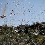 Locust swarms ravage Ethiopia