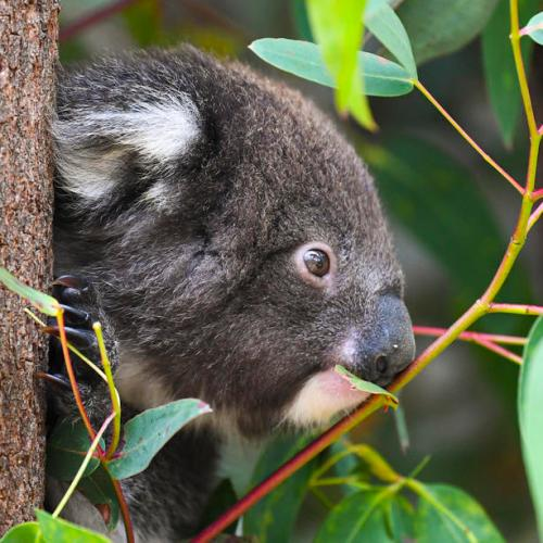 Australia's 'black summer' bushfires killed or harmed more than 60,000 koalas – WWF