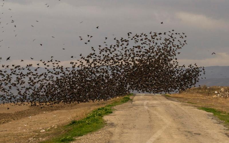 Photo Story: Starlings in Jordan Valley