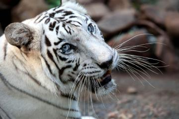 Two white tiger cubs in Pakistan likely died of COVID