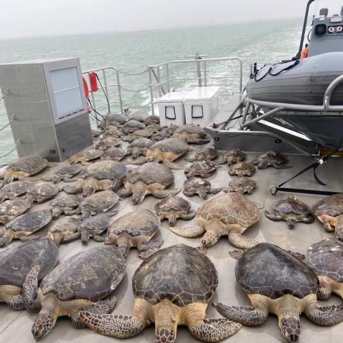Turtles rescued from the cold in Texas due to the winter storm