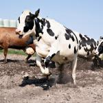 Photo Story – Organic cows released to graze after the winter