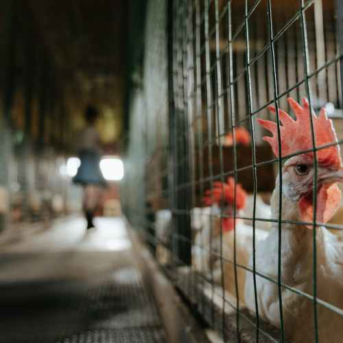 Caged animal farming must end in EU, European Commission says