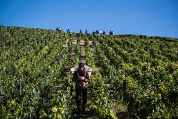 Photo Story – Harvests in the Chablis vineyard after the winter frost crisis