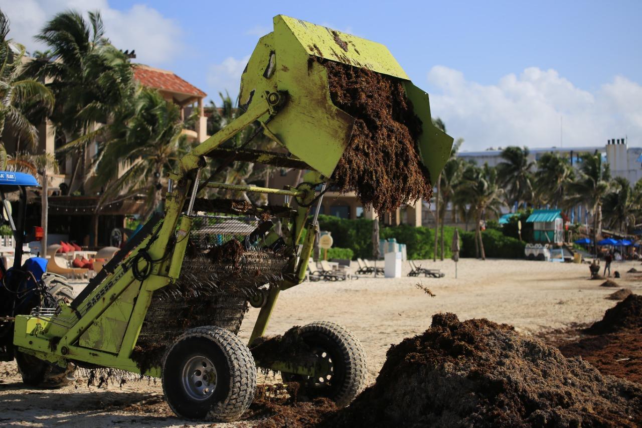 Gobierno de Solidaridad no da tregua al sargazo con limpieza permanente de playas