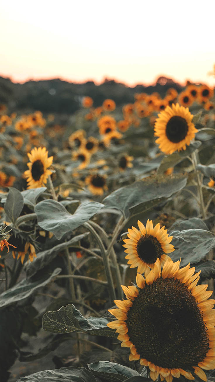 12 Super Pretty Sunflower Iphone Wallpapers Preppy Wallpapers
