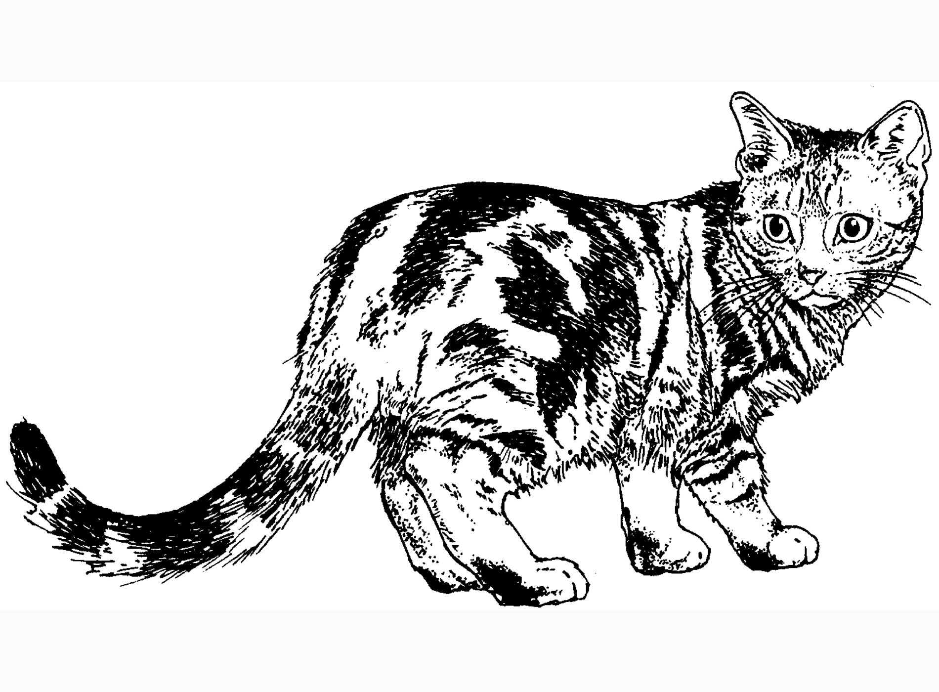 coloring pages cat