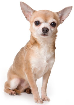 https://i2.wp.com/cdn-7.allsmalldogbreeds.com/breeds/chihuahua-short-coat.jpg
