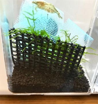 ミナミヌマエビ孵化