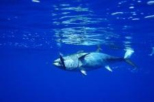 回遊魚の例:マグロ