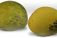 two mangoes with discolouration