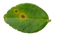 Citrus Canker disease