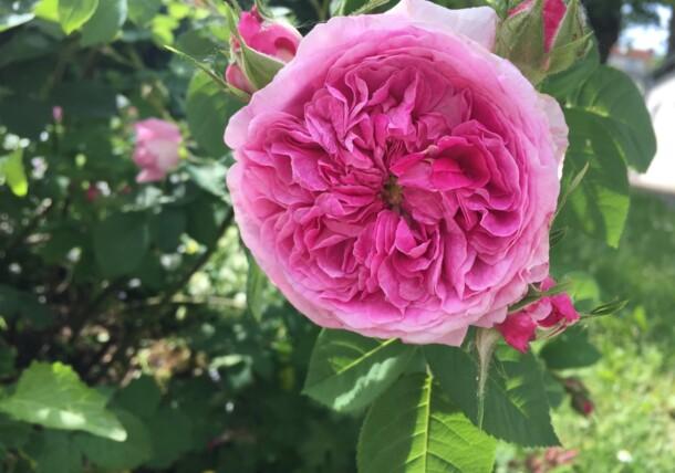 Dettaglio rosa giardino di Klimt