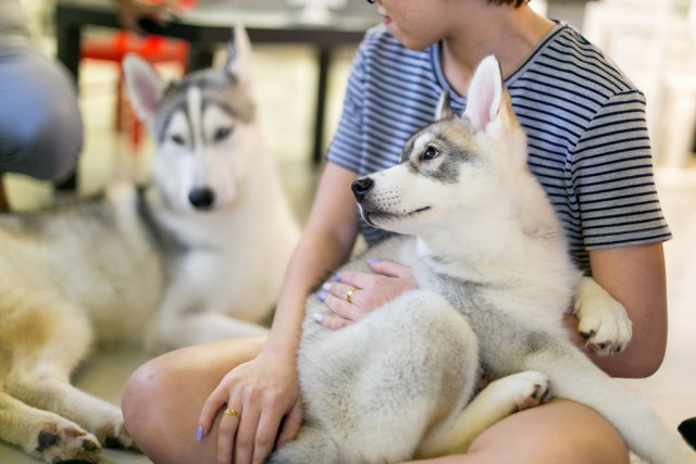 customers playing with cute huskies at dog cafe - the Huskitory in Malacca