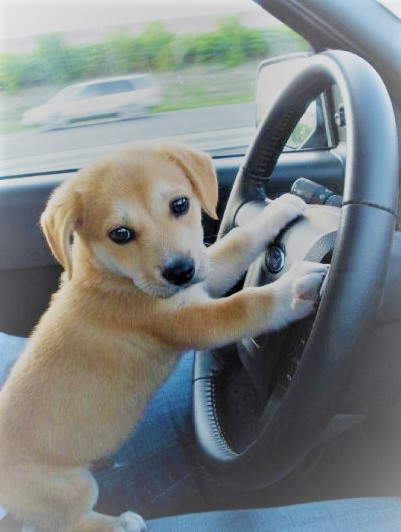 Cute Animals Puppy Dog Driving Car Pics Car Direct Usa
