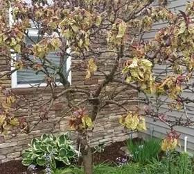 my bonfire patio peach tree