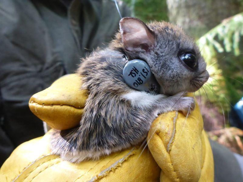 mammal_flying_squirrel