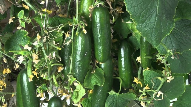 Cucumbers are another essential food for home gardeners.