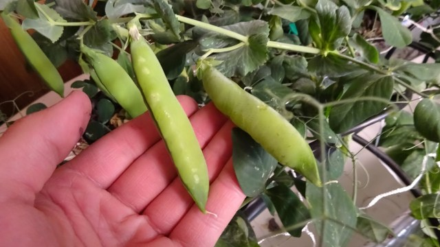 Peas are one of the best foods for homegrowers.