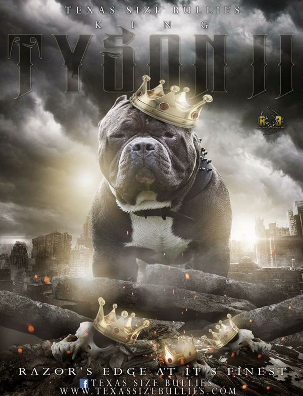 American Bully Extreme | Pocket Bully Info | Standard American Bully