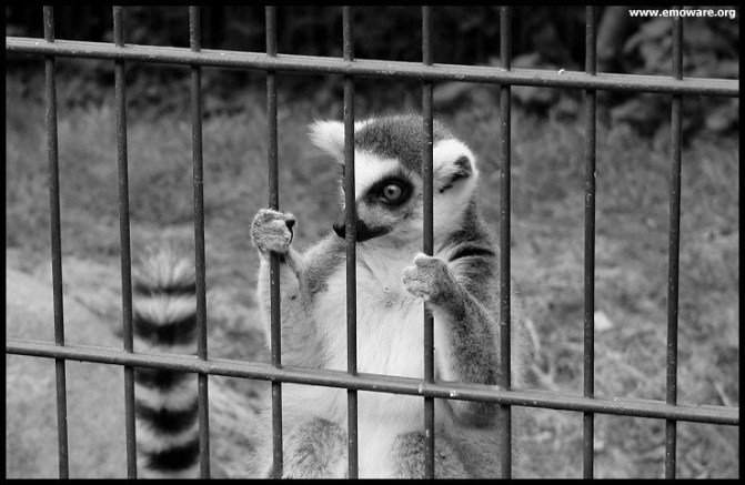 A lemur holds the bars holding it captive at the zoo