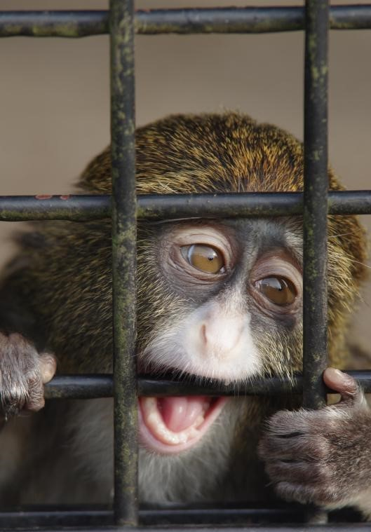 A monkey bites the bars holding him captive at the zoo