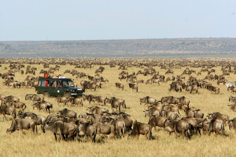 Witness the wildebeest migration in the Masai Mara National Reserve