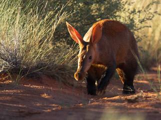 South Africa's Safari Secrets - unique desert animals