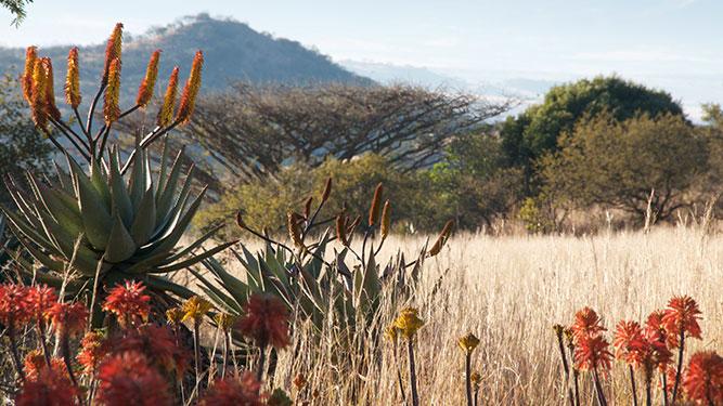 KwaZulu Natal - aloes