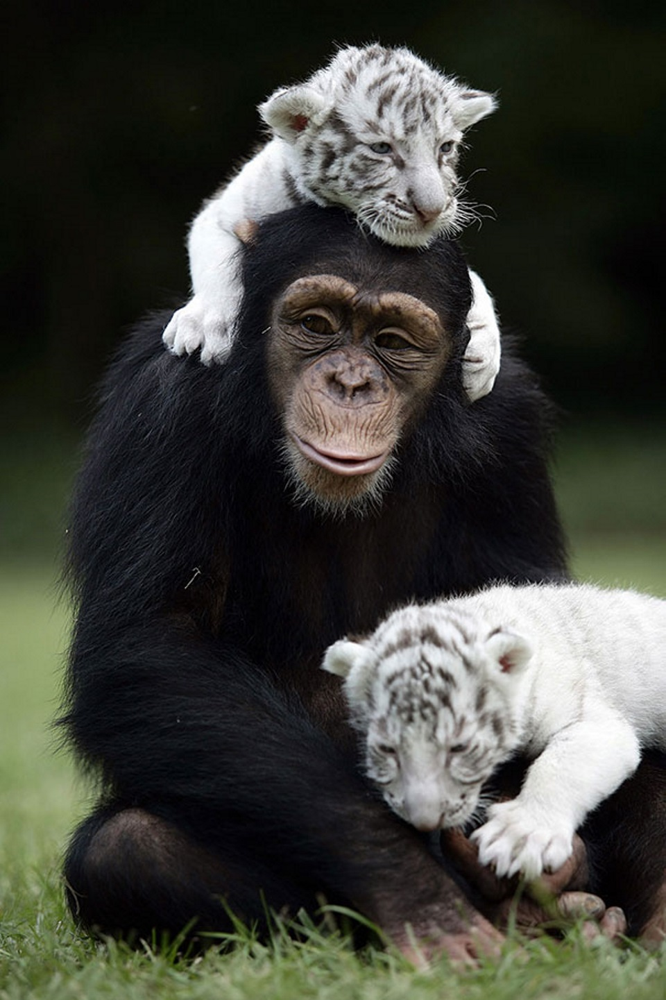 Tiger Monkey
