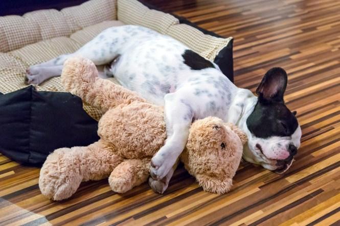 French Bulldog Sleeping On Apartment Floor
