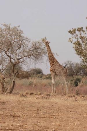 Girafes Niger mangeant