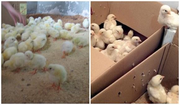 industria-ovos-resgate-animais-camaleão-veddas
